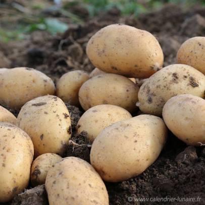 pomme de terre n